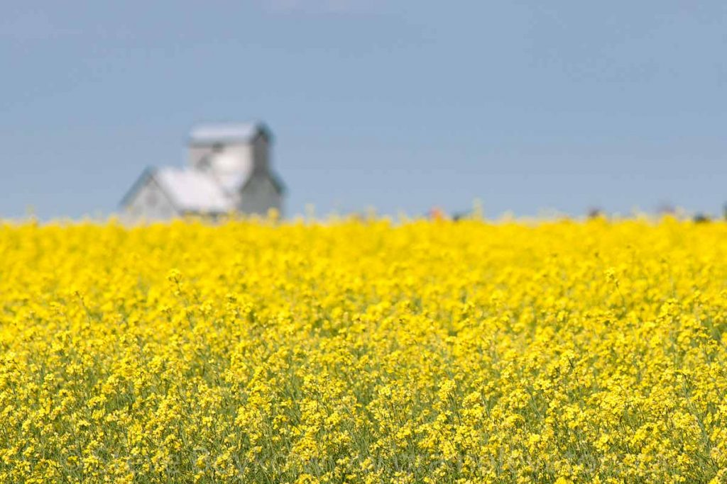 Grain elevator and canola, Dalny, MB, Aug 2014. Contributed by Steve Boyko.